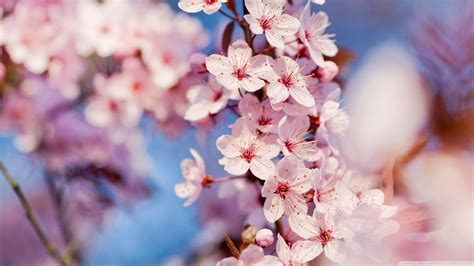 japanese blossom tree japanese cherry tree sakura images cherry blossom hd