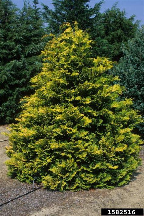 hinoki false cypress chamaecyparis obtusa pinales