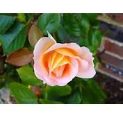Rose Rosebud Flower Free Stock Photos In JPEG Jpg