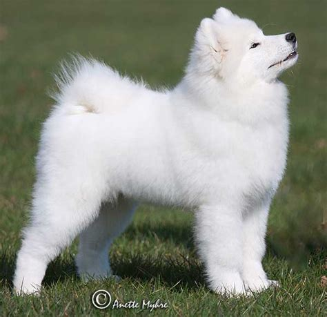 samoyed mixed with pomeranian samoyed pomeranian mix breeds picture