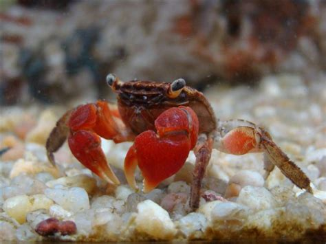 red claw crab red clawed crab care freshwater crab total fishkeeping gt red clawed crab