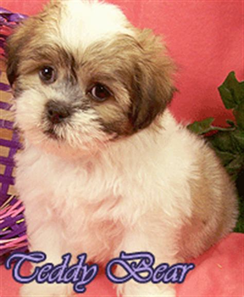 how to cut a shichons hair how to cut a shichons hair shih tzu versus shichon marlen