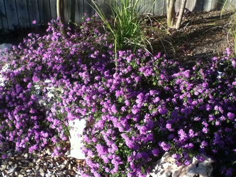 purple flower shrub quotes