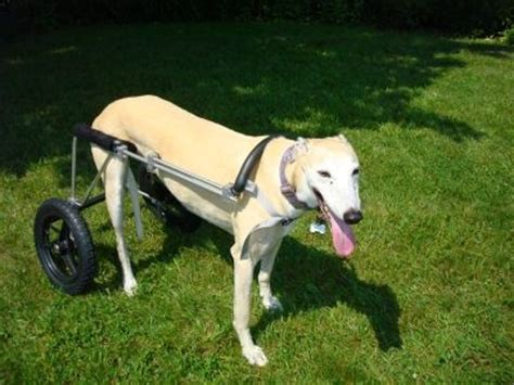 wheels for dogs dogs eddie s wheels carts for disabled dogs images frompo