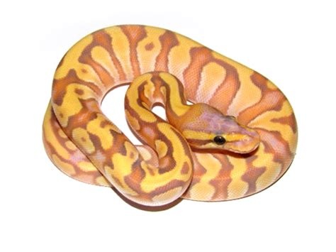 Banana Mochi 1 banana mochi morph list world of pythons