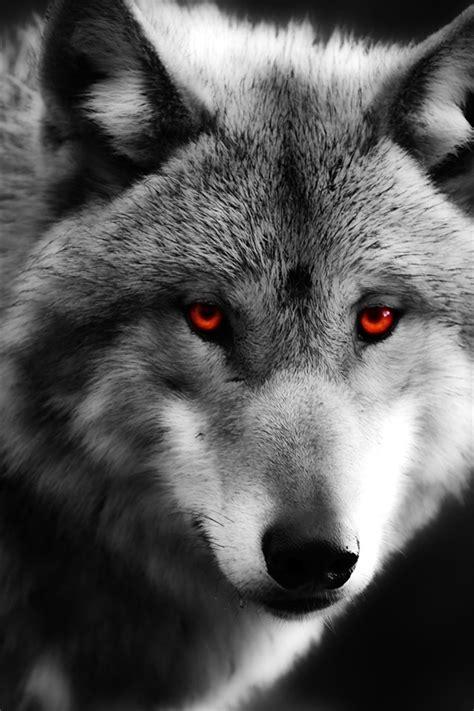fondos de pantalla lobo primer plano ojos rojos