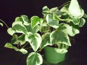 house plant types different types of ivy house plants