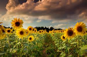 sunflower fields sunflower fields forever cyndi pachino photography