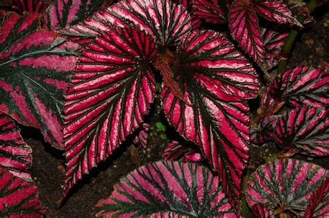 image gallery indoor plants colorful foliage - Colourful Foliage Plants