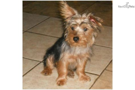 silky terrier puppies for sale pin silky terrier puppies for sale on