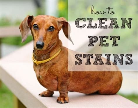 how to get poop smell out of couch how to clean pet stains warm stains and originals