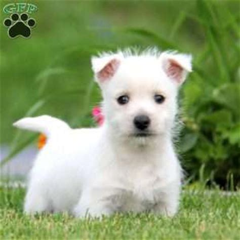 westie puppies for sale in pa west highland terrier puppies for sale in de md ny nj philly dc and baltimore