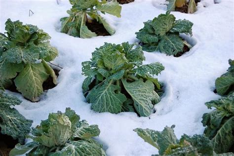 fall vegetable garden nc central carolina planting calendar for annual