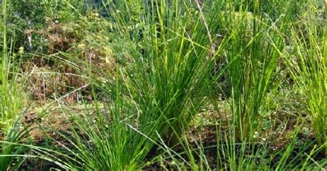 petani indonesia tanaman obat akar wangi