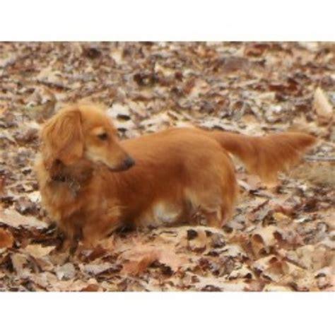 puppies in nc miniature dachshund nc miniature dachshunds nc akc dachshund free breeds picture