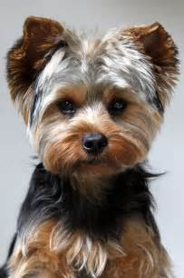 yorkie pics with hair yorkie haircut moose pinterest