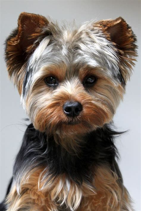 images of yorkies hair cuts yorkie haircut moose pinterest