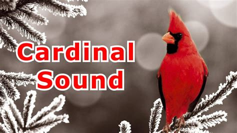 cardinal song northern cardinal singing youtube