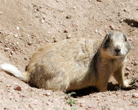 where do prairie dogs live white tailed prairie cynomys leucurus redorbit