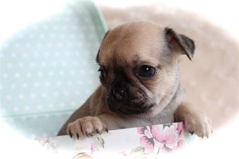 chihuahua x pug puppies pug x chihuahua puppies norfolk pets4homes