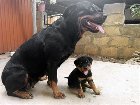 rottweiler with rottweiler puppy wants to play with his parents bison