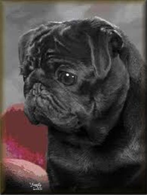 why do pugs get pimples pugpugpug how can i help comfort my pug with a yeast infection in the ear