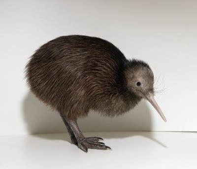 imagenes de animal kiwi gt animales raros y en peligro de extinci 243 n el kiwi