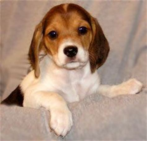beagle puppy rescue 161 best images about petsburgh on