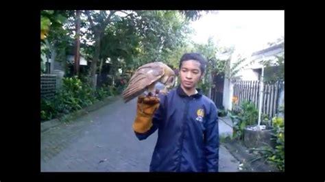 barn owl cara melatih burung hantu