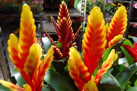 zimmerpflanzen die viel sonne vertragen kaliebes blumenhaus schnell 252 berblick zimmerpflanzen
