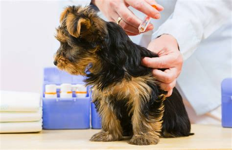 rabies vaccine for dogs how often vaccinations mayfield veterinary clinic