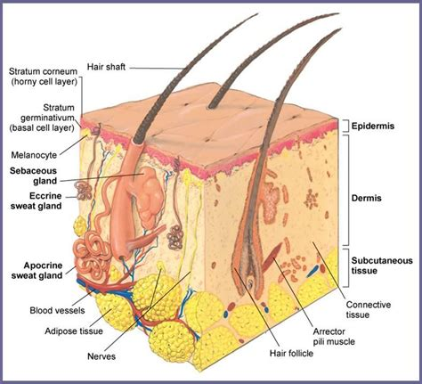 layer of fat on back of head 05 med terms anatomy part 1 emt basic with downs at