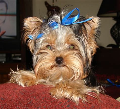 teacup yorkies for sale in cincinnati ohio yorkie puppies for sale in ohio breeds picture