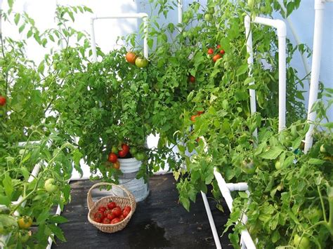 pomodori in vaso coltivare pomodori coltivazione ortaggi coltivazione