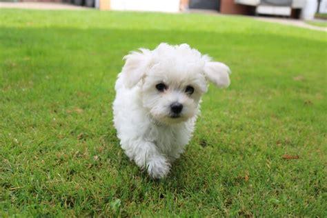 maltese bichon puppies maltese x bichon white puppy for sale oct 26th 2017 paradise puppies
