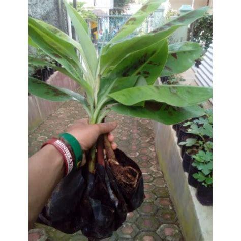 Bibit Pisang Cavendish jual bibit pisang cavendish kuning kultur jaringan