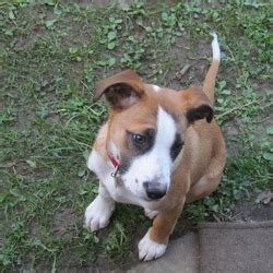 medium sized family dogs lost on 14 sep 2012 in kilcock ireland lost dogs