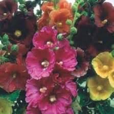 Benih Bunga Pansy Swiss bibit bunga pansy swiss
