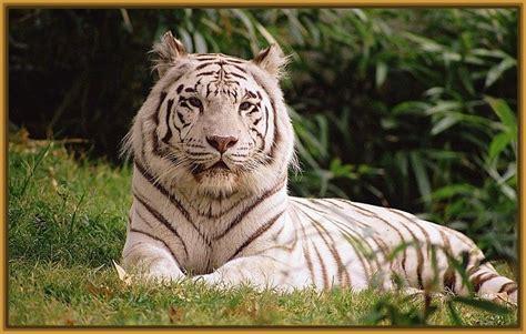 imagenes tigre blanco bengala fotos de tigres blanco siberiano para fondos fotos de tigres