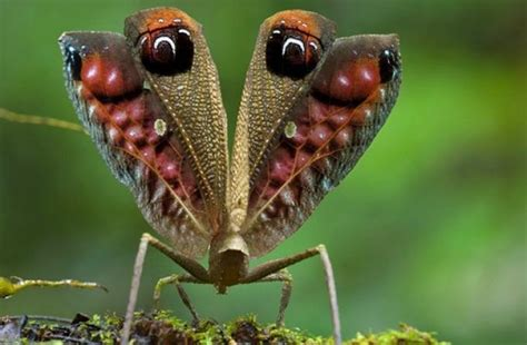imagenes raras sorprendentes especies raras saltamontes pavo real