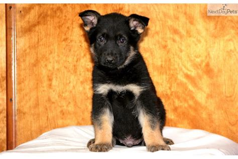 baby german shepherd puppies for sale german shepherd puppy for sale near lancaster pennsylvania 2bc57a23 0921