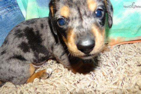 mini dachshund puppies for sale in ohio dachshund mini puppy for sale near toledo ohio 39f57ad5 9ce1