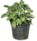 salvia in vaso salvia comune erba aromatica alimentipedia