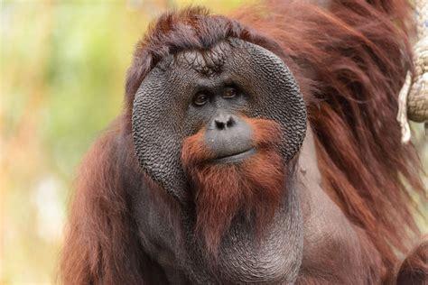 male big cheeks file male bornean orangutan big cheeks jpg wikimedia