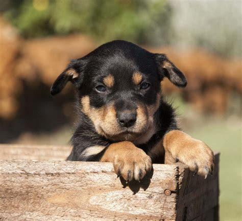 kelpie puppy kelpie dogs and other beautiful animals