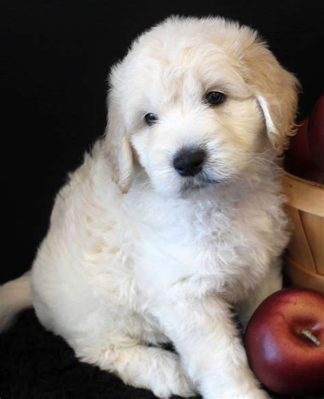 english goldendoodle goldendoodle puppy colors by moss creek goldendoodles in