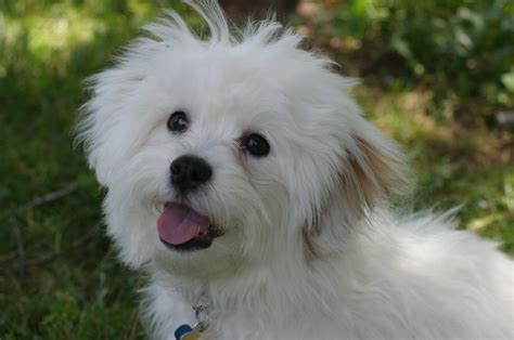 bichon breed happy breed bichon frise asking delicacy wallpapers and images wallpapers