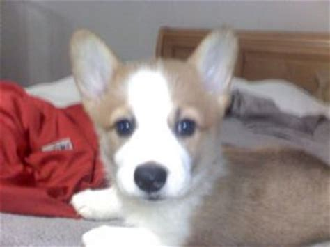 corgi puppies for sale san antonio pembroke corgi puppies for sale