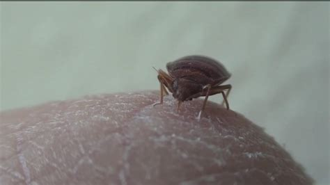 bed bugs houston bed bug infestations on the rise across houston abc7 com