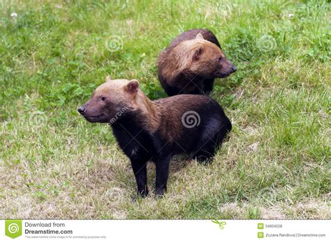 vinegar for dogs bush dogs royalty free stock photos image 34604528